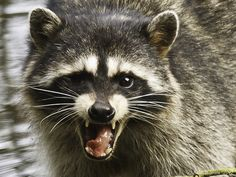 Get-Raccoons-Out-are-raccoons-dangerous-rabies