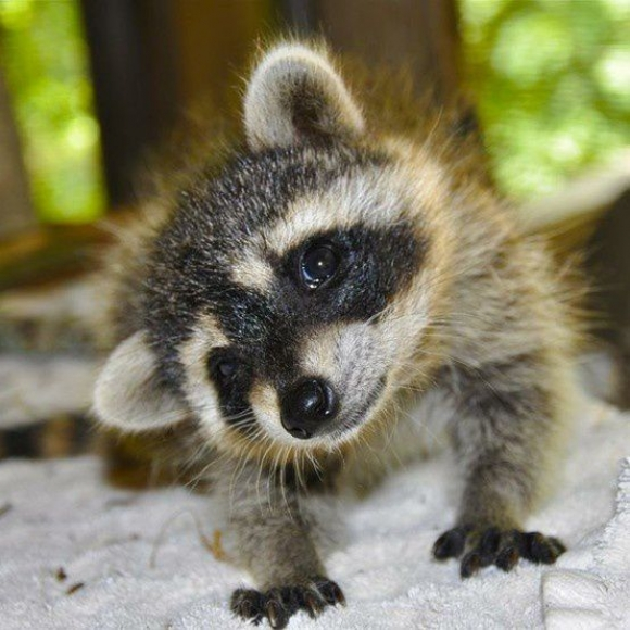 Get-Raccoons-Out-baby-raccoon