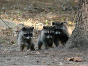 3 young raccoons