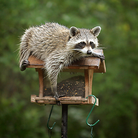 Get-Raccoons-Out-raccons-live-dens