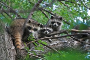 raccoons in tree