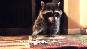 Get-Raccoons-Out-raccoon-lifespan-pet-600x338