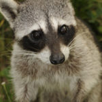 Get-Raccoons-Out-raccoon-species-Cozumel
