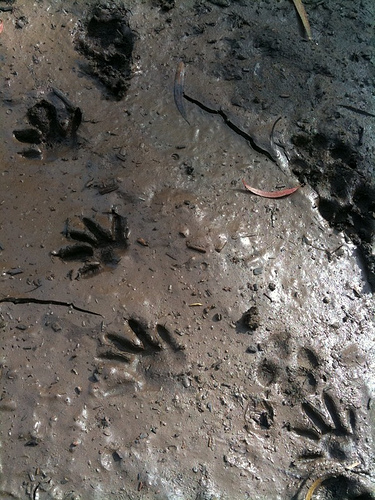 Get-Raccoons-Out-raccoon-tracks