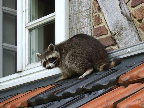 Get-Raccoons-Out-raccoons-rodents-600x450